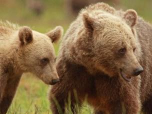 Skandinaviske bjørner er fanget i veinettet