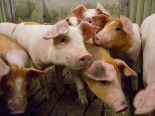 Healthier pigs with local feed