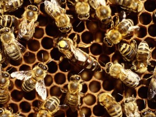 Motstandskraft mot antibiotika spredte seg i tarmen til bier