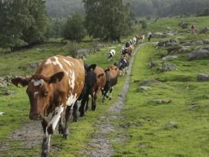 Reproduksjon hos norske kyr