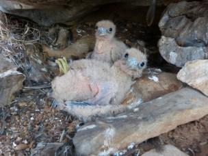 Gresk falk spis trekkfugl frå Noreg