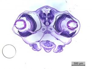 Fish embryo