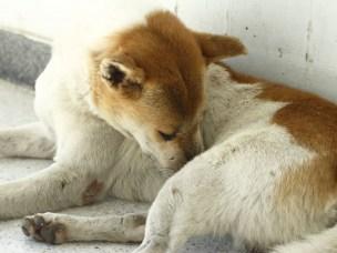 Gatehund i Thailand.