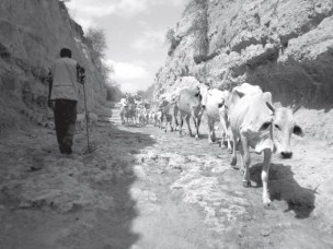 Cattle herding by pastoralists, Ethiopia.