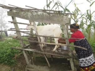 Muleg avlsprogram for mjølkegeit i Tanzania
