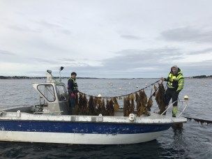 SINTEF and NMBU join forces on seaweed