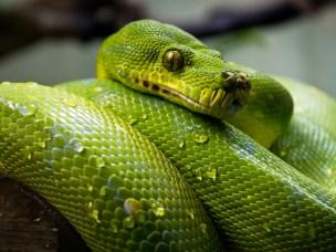 Grønn trepyton blir nå tillatt å ha som kjæledyr i Norge. Når du skal søke helsehjelp for din reptil, søk veterinærer som har spesialkompetanse på nettopp det.