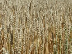 I tillegg til fôrplanter inneholder grasfamilien også matplantene som kornartene hvete, rug og bygg .
