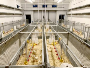 Can we grow chicks with feed made from sticks?