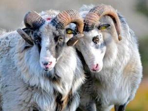 Norsk ull som merkevare