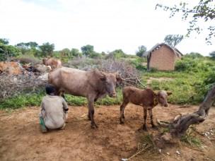 Fant nye smittestoffer i storfe i Tanzania