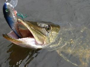 Gjedda er en spektakulær rovfisk som trekker mange fisketurister til det sentrale Østlandet. Men vi må lokke med mer.