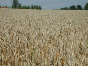Hvete er den viktigste matkorn-arten i Norge, men i gjennomsnitt er det bare litt over 50 % av mathveten vår av norsk produksjon.