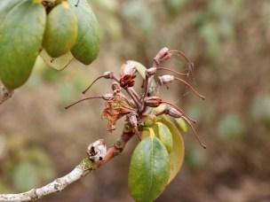 Selv om bladene skulle tørke inn kan resten av busken overleve.