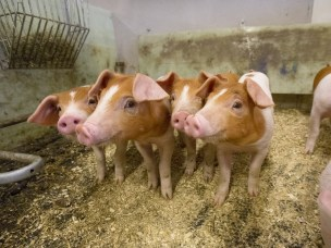 Forskningsprosjektet «Grisefine lunger» er startet for å få enda friskere gris. Har du en gris som hoster, ta kontakt.