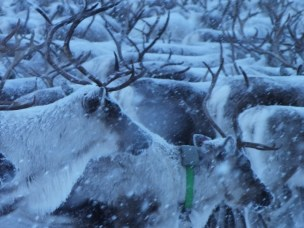 The Vågå herd and one of the GPS collared does in snowy weather