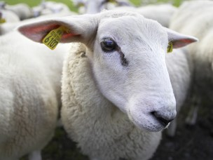 Sheep + seaweed = food security?