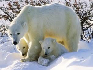 Isbjørn med unger