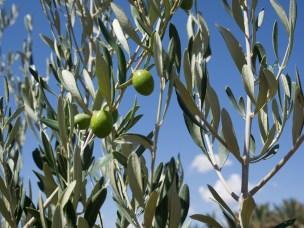 Oliventre med grener og frukt.