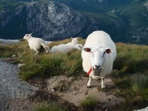 Koksidier hos lam kan være resistente mot behandling
