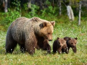 Bjørnemor med unger