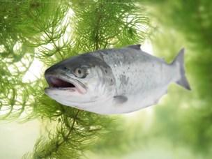 Mer kunnskap om fiskens immunforsvar