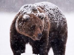 Brunbjørn