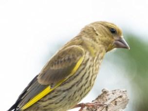 Grønnfinken er en av fuglene som er tiltrukket av bylivet, men som foretrekker variert vegetasjon i områder med spredte busker og trær – enten den befinner seg i byen eller på landet.