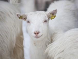 Norsk melkegeit er unik ved at den har en mutasjon som gjør den resistent mot prionsykdom.