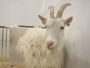 Unik norsk geit kan gi oss nøkkelen til å bekjempe marerittsykdommer