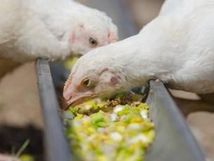 Norske husdyr og norskprodusert mat spiller generelt en ubetydelig rolle for spredning av antibiotikaresistente bakterier til befolkningen. Unntaket er fjørfekjøtt og levende gris og fjørfe.