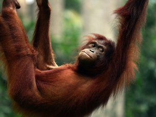 Nytt håp for orangutangen