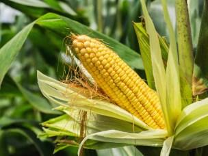 Ny teknologi bedrer matvaresikkerheten for maisbønder