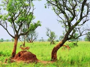 Antiloper som beiter på morgenkvisten i Uganda.