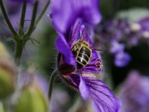 Norske bier kan bli smittet åpen yngelråte av importert honning.