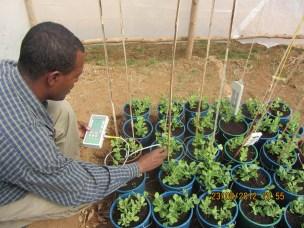 Feltforsøk på Hawassa University, Etiopia.