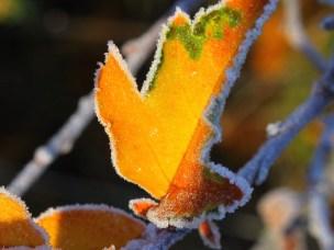 Høstblad med frost