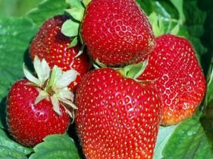 Trygge importerte bær