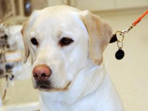 Monsen, en 1,5 år gammel labrodor retriever hannhund ble forgiftet av superwarfarin i slutten av januar i år og hadde blødninger fra tannkjøttet og svært blodfattig. Etter blodoverføring og væske intravenøst samt K-vitamin behandling kom han fort på beina igjen.