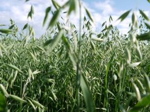 Havre tar opp fosfor mer effektivt