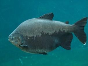 Tambaqui (Colossoma macropomum). Også kjent som pacu, eller kjempepacu. Disse fiskene er frøspisere/spredere og er sterkt truet av overfiske i mange områder.