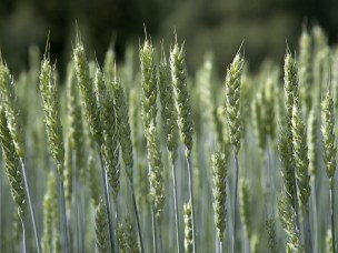 Korn - hvete