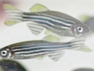 Zebra-fisk