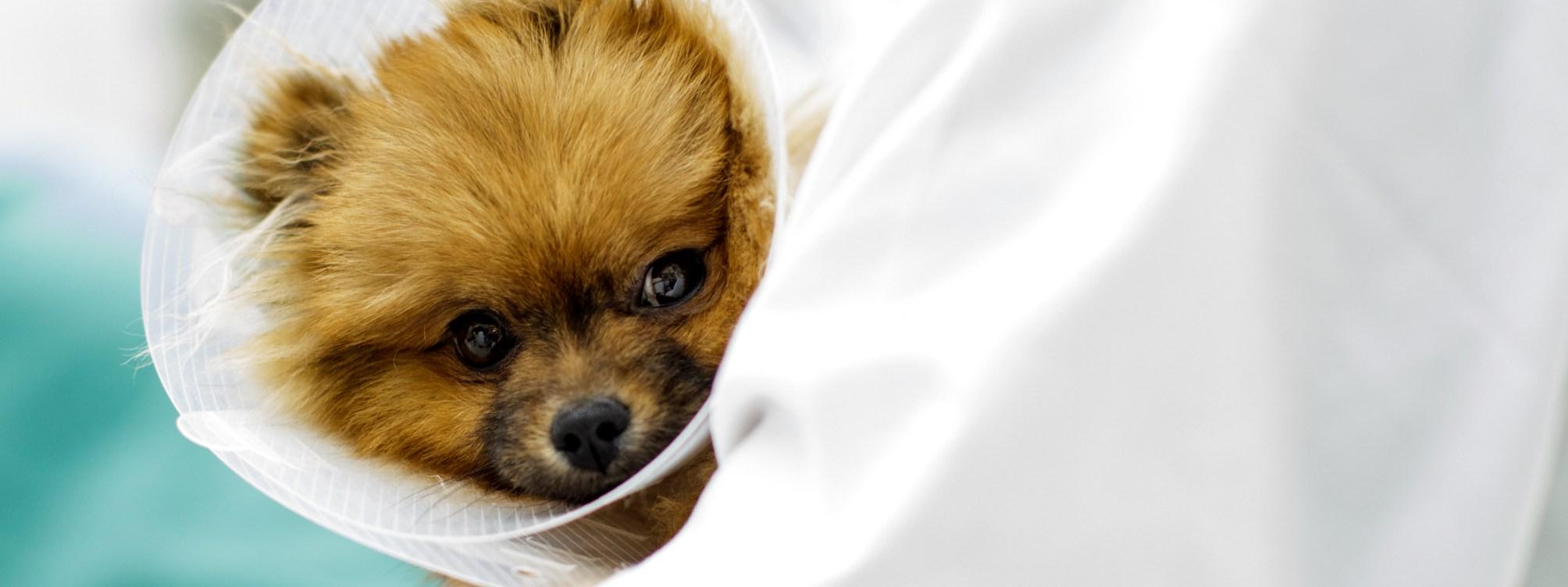 Smådyrklinikken på Adamstuen, NMBU. På bildet: Hunden Prince (pomeranian) med krave. Eier: Victoria Uthus.