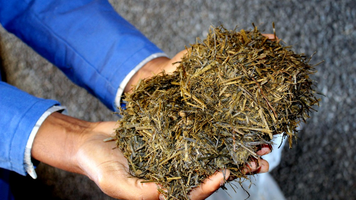Feeding lambs seaweed gives us better health