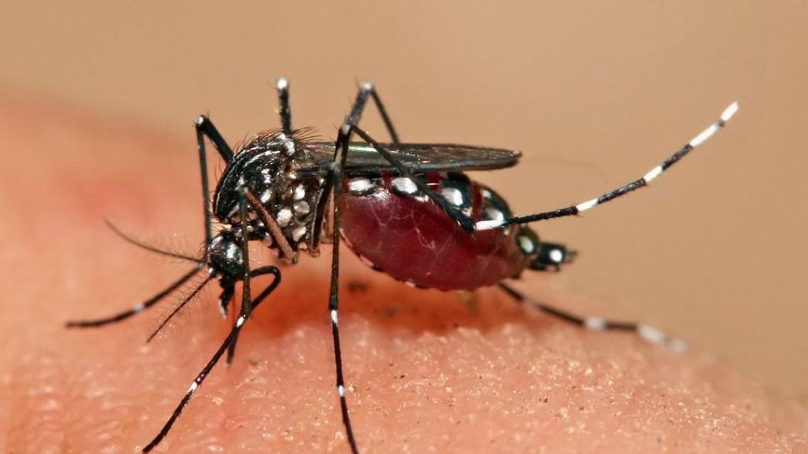 Aedes aegypti - kan overføre dengue, Zika, chikungunya og gulfeber.