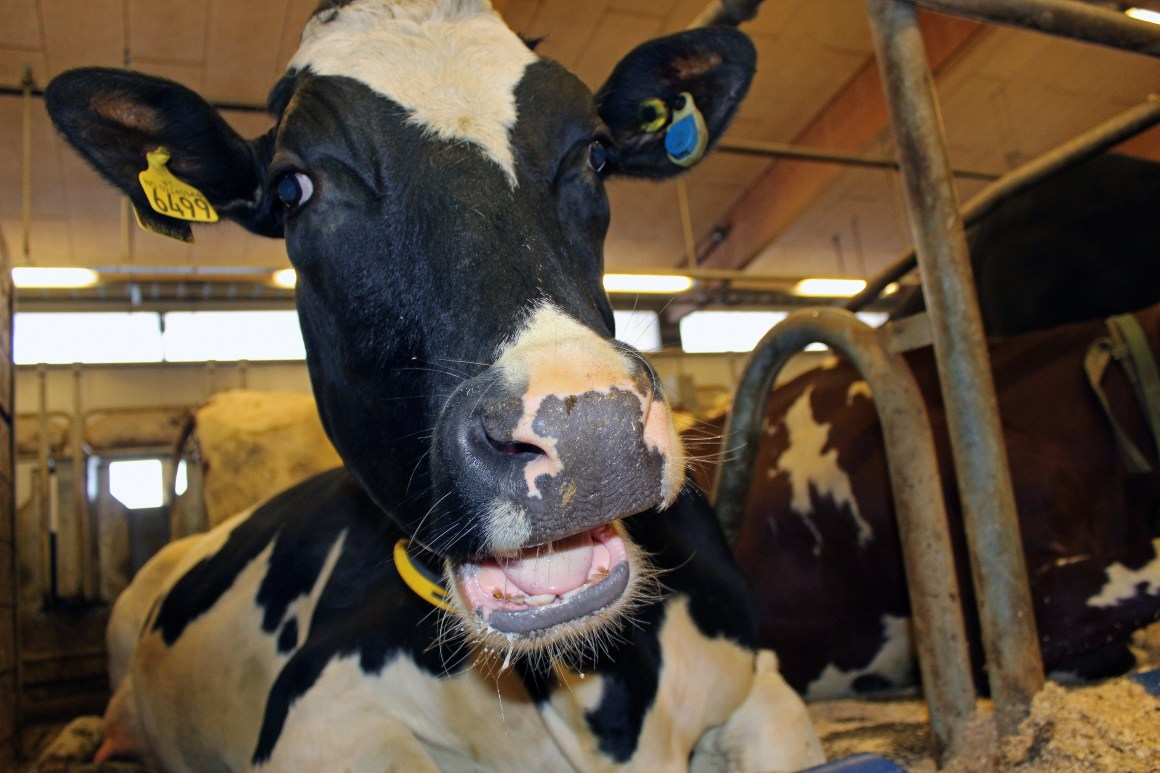 Preliminary results show that the cows liked the yeast-based feed and their milk yield was similar to that of the animals fed the soy diet.