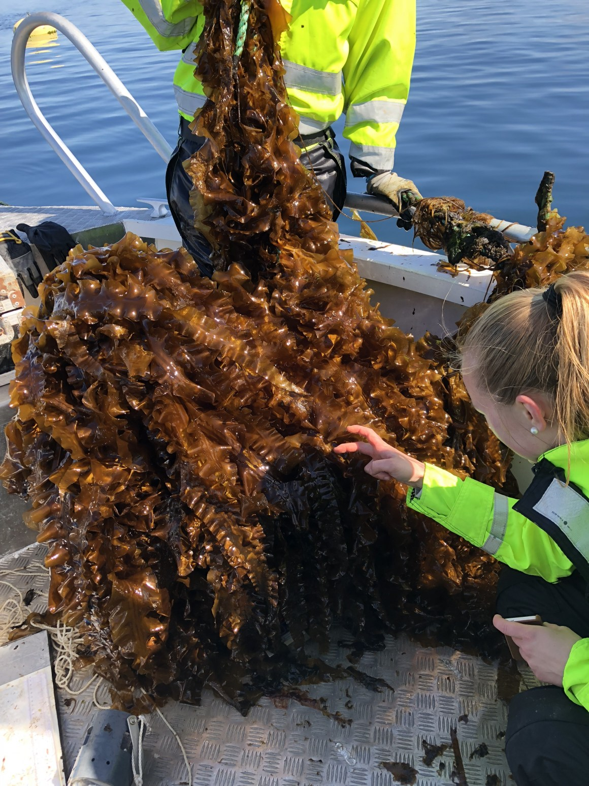Cultivated sugar kelp was harvested near Frøya in May. The photo is taken by SINTEF Ocean, one of the partners in the pilot project.