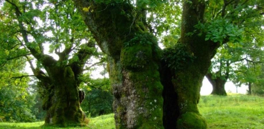 Hule eiketrær er en oase for småkryp