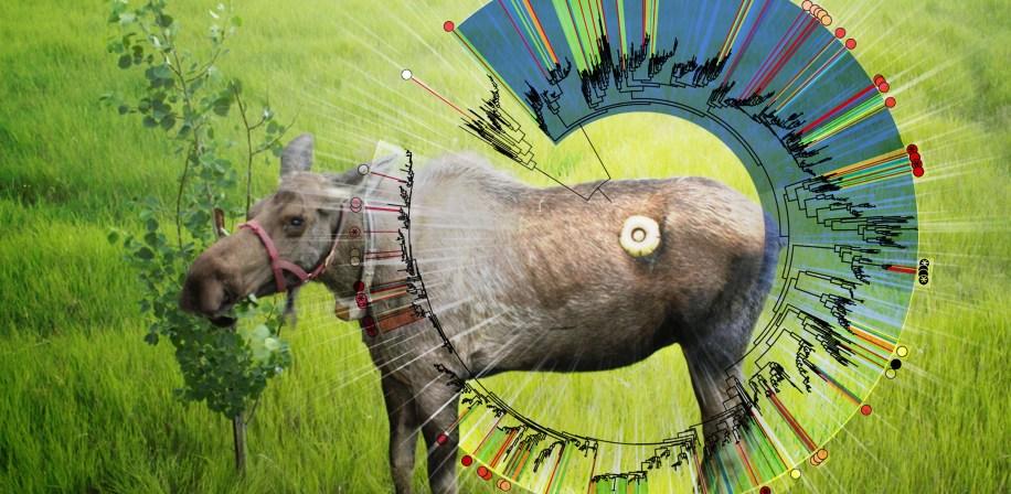 Elg med luke i magen gir forskerne verdifull innsikt i nedbryting av biomateriale i vomma.